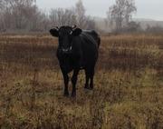Продам корову на утримання